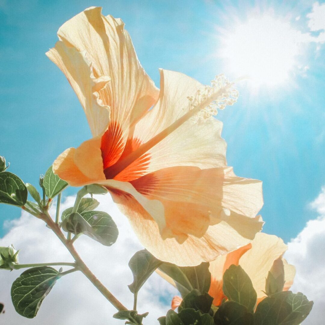 photography-of-yellow-hibiscus-under-sunlight-666839 (1)